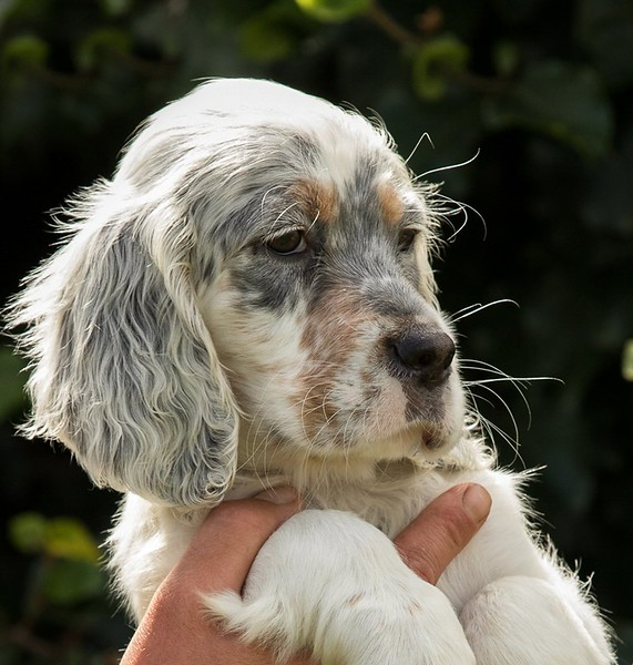Billy English Setter puppy.jpeg