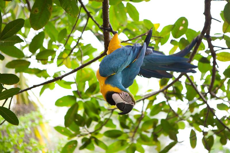Parrot in Costa Rica 2