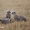 Cheetah family feeding in the rain
