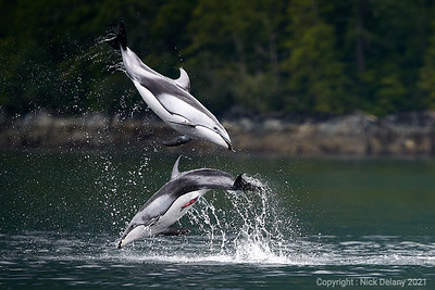 Pacific White Sided Dolphins mating dance!