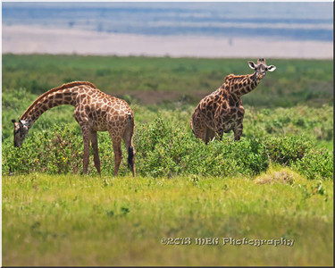 Giraffes of Africa