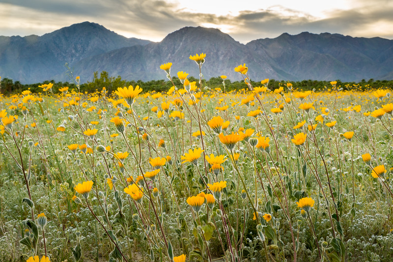 Superbloom sunset in Anza-Borrego Desert State Park