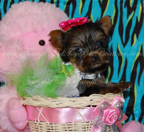 Trixie - Yorkie Adult # 2534 (Female)