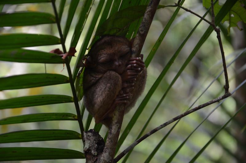 DSC_7141-tarsier-sleeping.JPG
