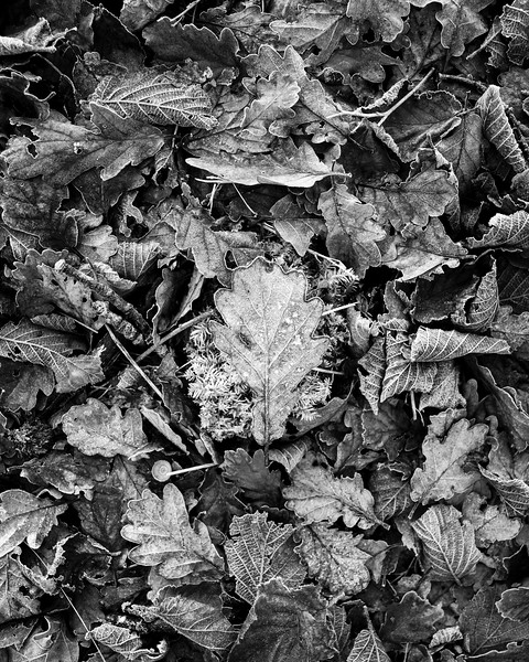 Frost on Leaves - 4