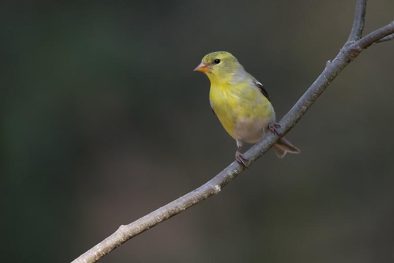 American Goldfinch - Female - Grayling, MI, USA
