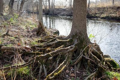 River Trees in Winter, Dec 22, 2020
