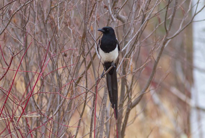 Black-billed Magpie Blue Spruce Road Sax-Zim Bog MNIMG_1299.jpg