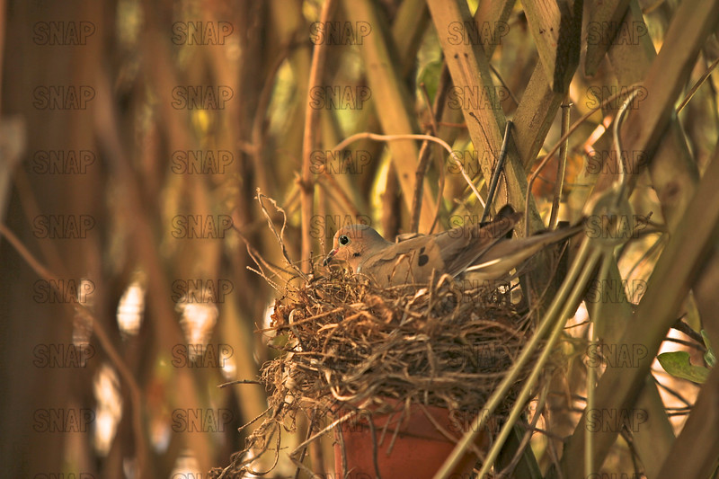 Mourning Dove (Zenaida macroura) sitting on eggs in a nest made in a flower pot.