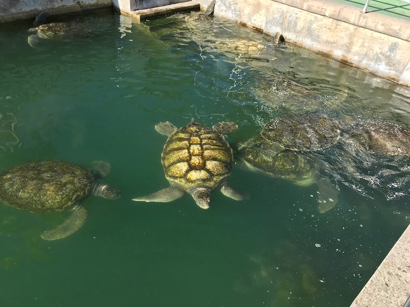 turtles swimmng in water