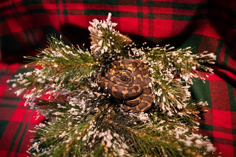 ChristmasSnakes19_0009.jpg