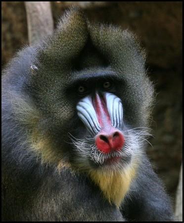 Bronx Zoo Mandril