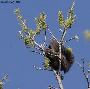 Eastern Gray Squirrel