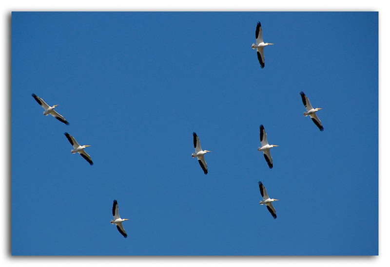 American White Pelicans in Flight.jpg
