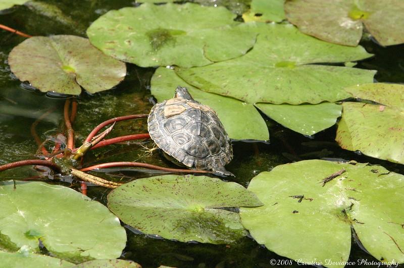 Slider Turtle1.JPG