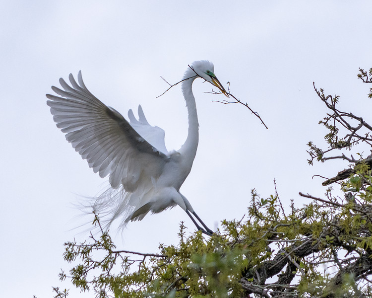 Honey I'm Home - Great Egret