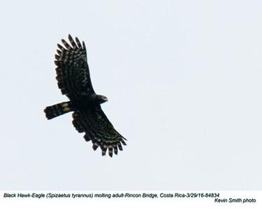 Black Hawk-Eagle A84834.jpg