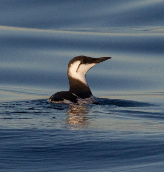 Common Murre  San Diego waters  2012 12 07 (1 of 1).CR2