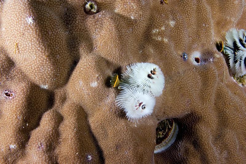 White Christmas Tree Worms.jpg