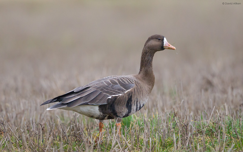 White-fronted Goose - Flamborough, Yorkshire 27/01/18