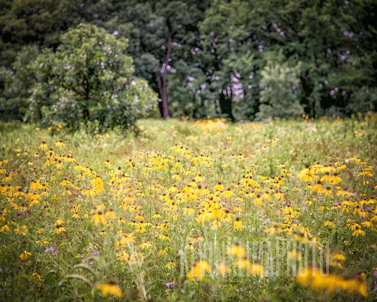 YellowFlowers-8x10.jpg