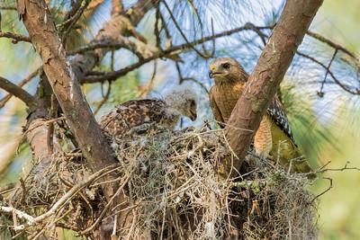 Baby Red-shouldered Hawks at Dogwood Park