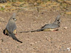 A pair of Whitebacked Mousebirds