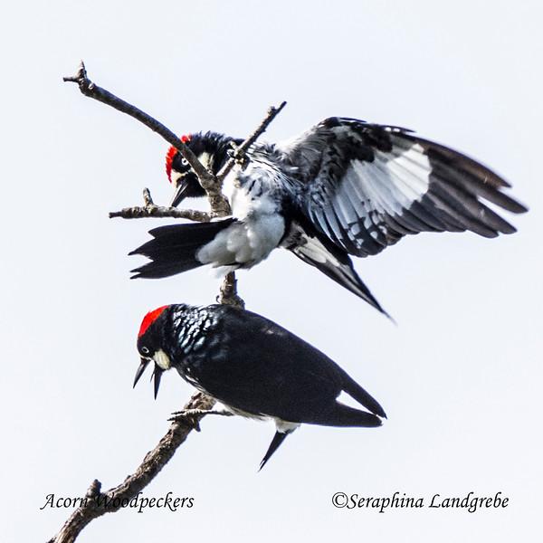 _DSC5957Acorn woodpeckers.jpg