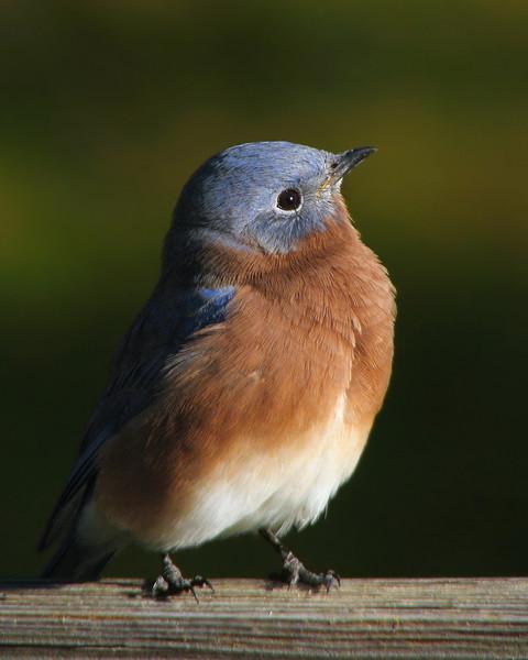 bluebird_4153.jpg