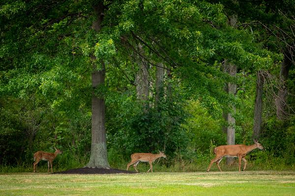190255 Wildlife, deer, fawns, near Oozefest