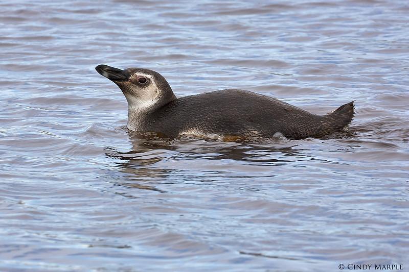 Magellanic Penguin juvenile