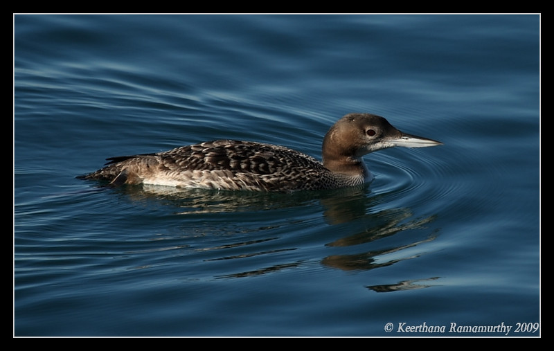 Common Loon, Oceanside Harbor, San Diego County, California, January 2009