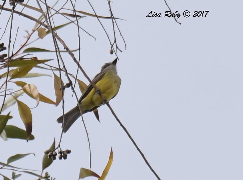 DSC_3550_Kingbird.jpg