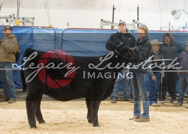 8 County, Heifers, Showmanship