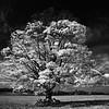 """""""My Tree"""" Fall 2009 Southwestern NY"""