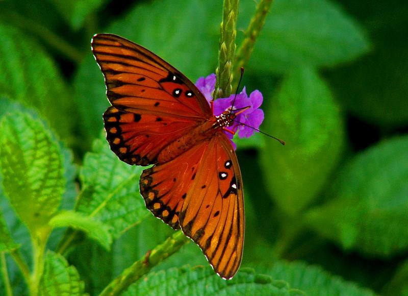 NEW a Gulf Fritillary Butterfly Darker, 2005.JPG