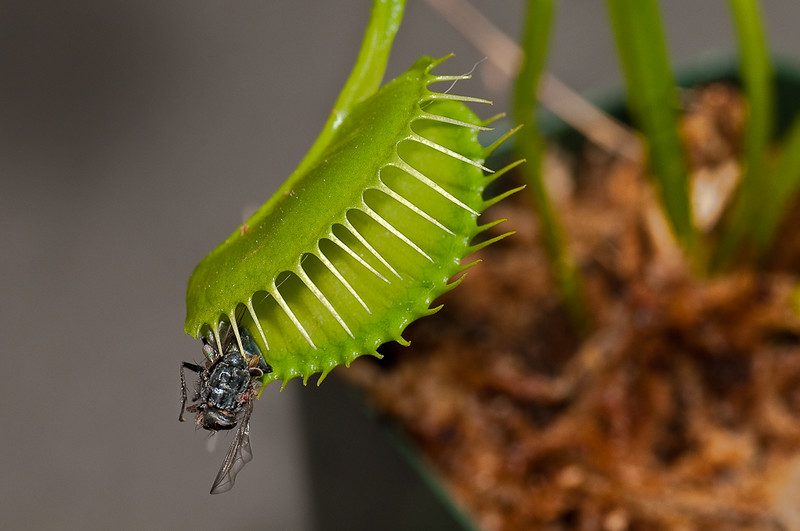 Venus Fly Trap-1.jpg