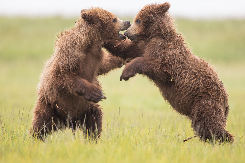 alaska-bears-28.jpg