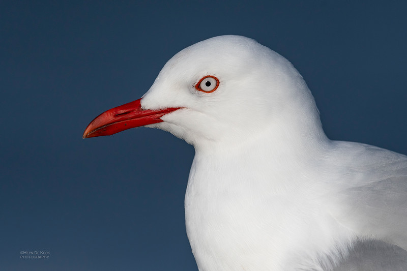 Red-billed Gull, Greymouth, SI, NZ, Sep 2018-2.jpg