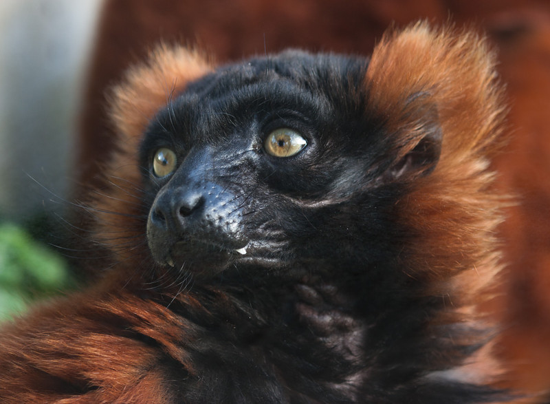 Red Ruffed Lemur - Marwell Zoo
