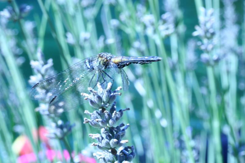 Dragon Fly- Prospect Park.jpg