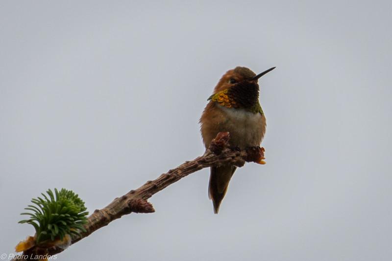 Rufous Hummingbird 02.jpg