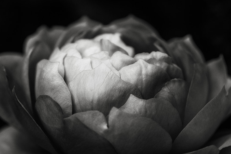 rose-lady-of-shalott-bw.jpg