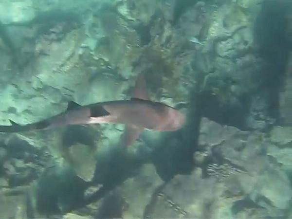 White-tipped reef shark, Galapagos