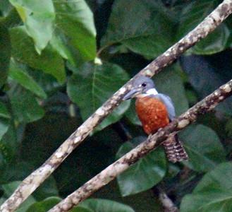 Ringed Kingfisher Male