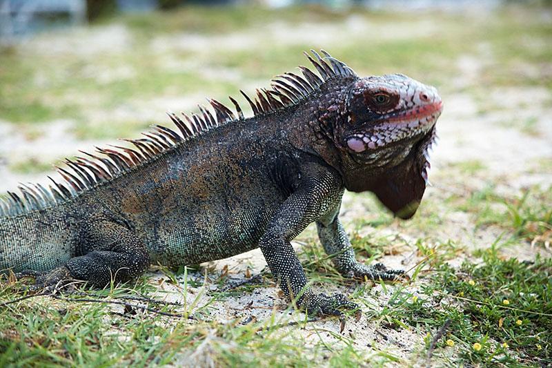 One of the many iguanas on St. Thomas.