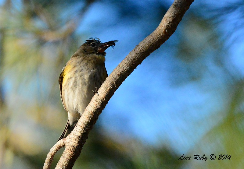 Euc-faced Yellow-rumped Warbler  - 1/3/2015 - RB CBC - Golf Course Parking lot