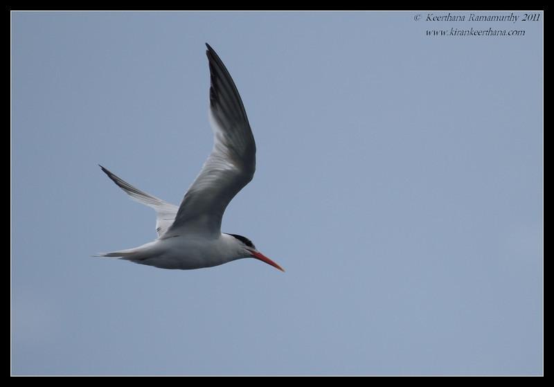 Elegant Tern, Mission Bay, Whale watching trip, San Diego County, California, July 2011