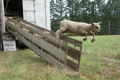 sheep arrive