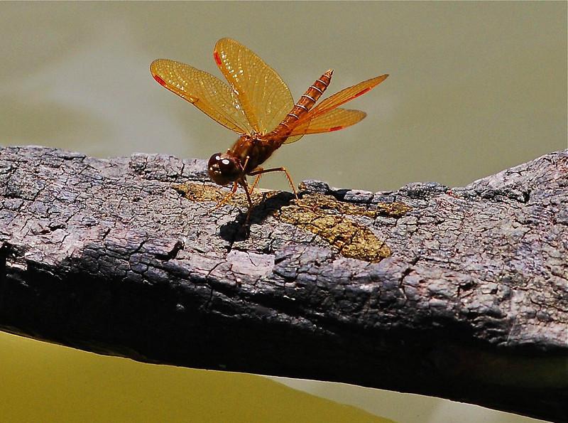 Amberwing (Perithemis sp). Tortuguero, Costa Rica, Central America